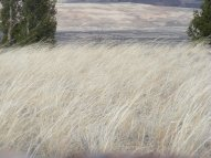 Grasses bent by the strong winds of Springtime in the Rocky Mountains of Colorado