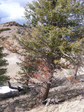 Douglas fir afflicted with beetles