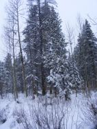 Dormant aspen and willow with the evergreen conifers on Gold Creek