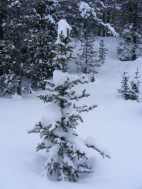 Young conifer with fresh snow adorning its branches
