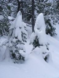 Saplings coated in snow