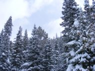 Fresh snow on the conifer forest as the storm ends
