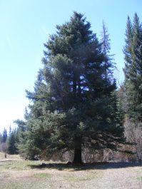 Spruce near Bull Gulch on East Elk Creek