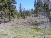 Spruce and aspen on East Elk Creek, near Bull Gulch
