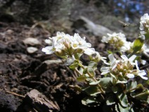 Insect already busily at work on this small Brassicaceae on East Elk Creek