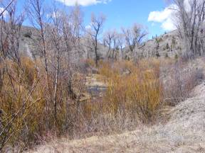 East Elk Creek flowing through a grove of cottonwood and willow in late April