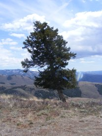 A Douglas fir leans away from the prevailing winds