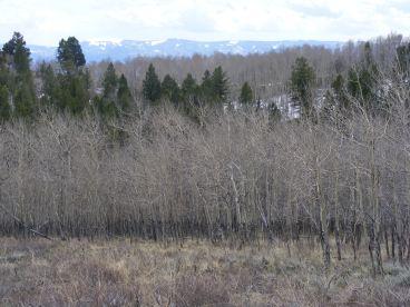 Aspen forest mixed with Douglas fir
