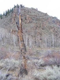 Old aspen trunk in Alder Creek