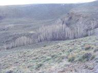 An aspen grove in Steer Gulch