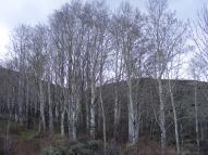 Mature aspen in Steer Gulch
