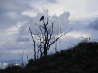 The calling raven of Steer Gulch