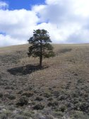 Lone ponderosa pine near Road 3121