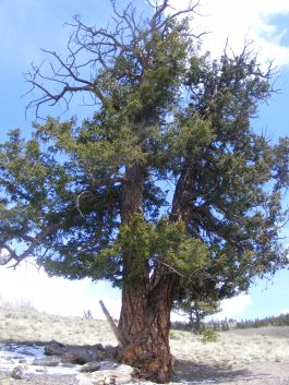 Bristlecone pine on the flank of Point 10777