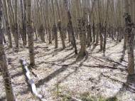 Aspen on Point 10777's southern flank, note the uniformity of trunk diameter and height of scars from ground