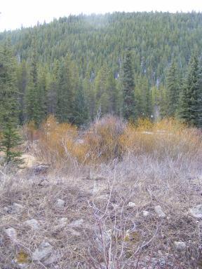 Yellow barked willow line Quartz Creek