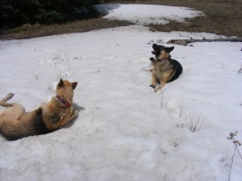 Canine jubilation in the snow of Limekiln Gulch