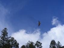 Raptor sailing above Quartz Creek