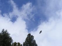 Raptor aloft over Quartz Creek on a blustery Spring day