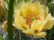 Prickly pear in bloom, Opuntia spp., near Vogel Canyon