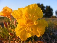 Dawn's early light striking a gorgeous yellow evening primrose