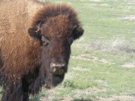 Thoughtful gaze of a resident bison