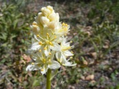 A death camas, perhaps - possibly Toxicoscordion spp. in Melanthiaceae also known as the False Hellebore Family