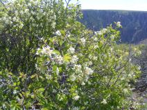 A shrub that is most likely part of Rosaceae with the Black Canyon of the Gunnison in the background