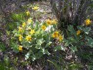 Probably arrow-leaf balsamroot