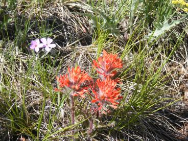Orange Castilleja spp. and a pink Pink or Phlox Family flower