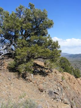 A pinyon pine on the north rim of the Black Canyon of the Gunnison
