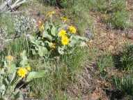 This looks like arrowleaf balsamroot, on the north rim of the Black Canyon of the Gunnison
