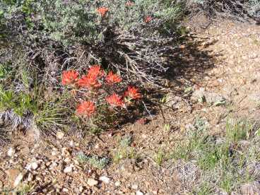 Paintbrush and sagebrush together on Mesa Inclinado