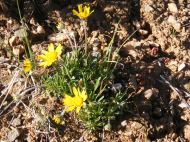 A yellow aster of some sort on the north rim of the Black Canyon of the Gunnison