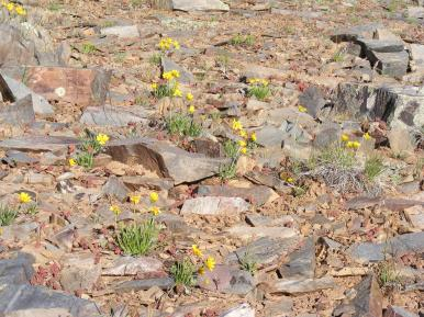Asters growing in the rocky soil on the north rim of the Black Canyon of the Gunnison