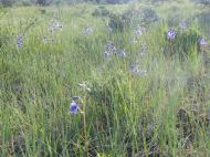 A meadow of larkspur on Mesa Inclinado