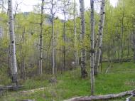 Aspen forest on Myers Gulch