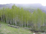 Newly leafed out aspen on Myers Gulch under Black Mesa