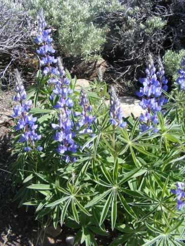 Part of Fabaceae, these lupines grow near North Beaver Creek