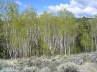 Aspen above Sun Creek, freshly leafed out