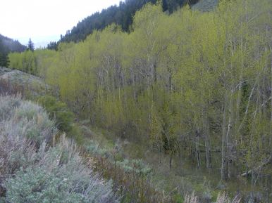 Sun Creek aspen with fresh leaves
