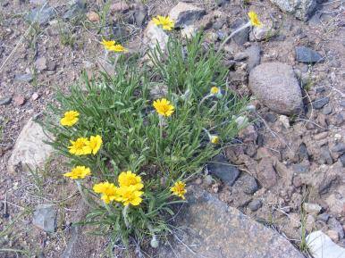 A yellow Asteraceae near Sun Creek