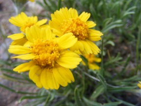 I know what this isn't but not what it is - A yellow member of the Aster Family