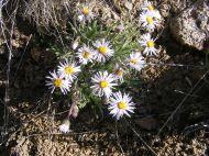 A member of Asteraceae on Alkali Creek
