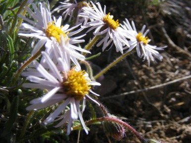 Ray and disk flowers, a member of the Aster Family