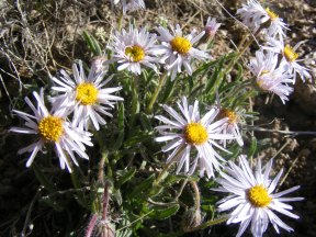 I wouldn't identify this flower beyond that it is an Asteraceae