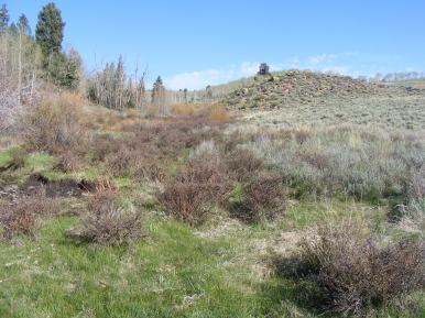 Green grass sprouting up in Alkali Creek