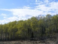 Clouds gathering above an aspen forest on Alkali Creek
