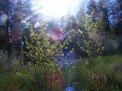 Sunburst above aspen
