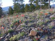 Paintbrush, a daisy and sagebrush near Point 8882